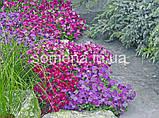 Обрієта Одрі F1 (колір на вибір) 100 шт., фото 2