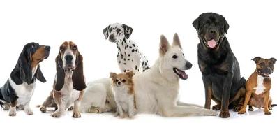 Бош Bosh для дорослих собак