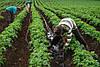 Капельный полив-набор  Садовод Профи 100 система капельного орошение на одну сотку, фото 8