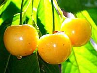 Саджанці черешні Бігарро Жовта середньоросла, фото 1