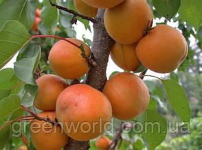 Саженцы колоновидного абрикоса Принц Март