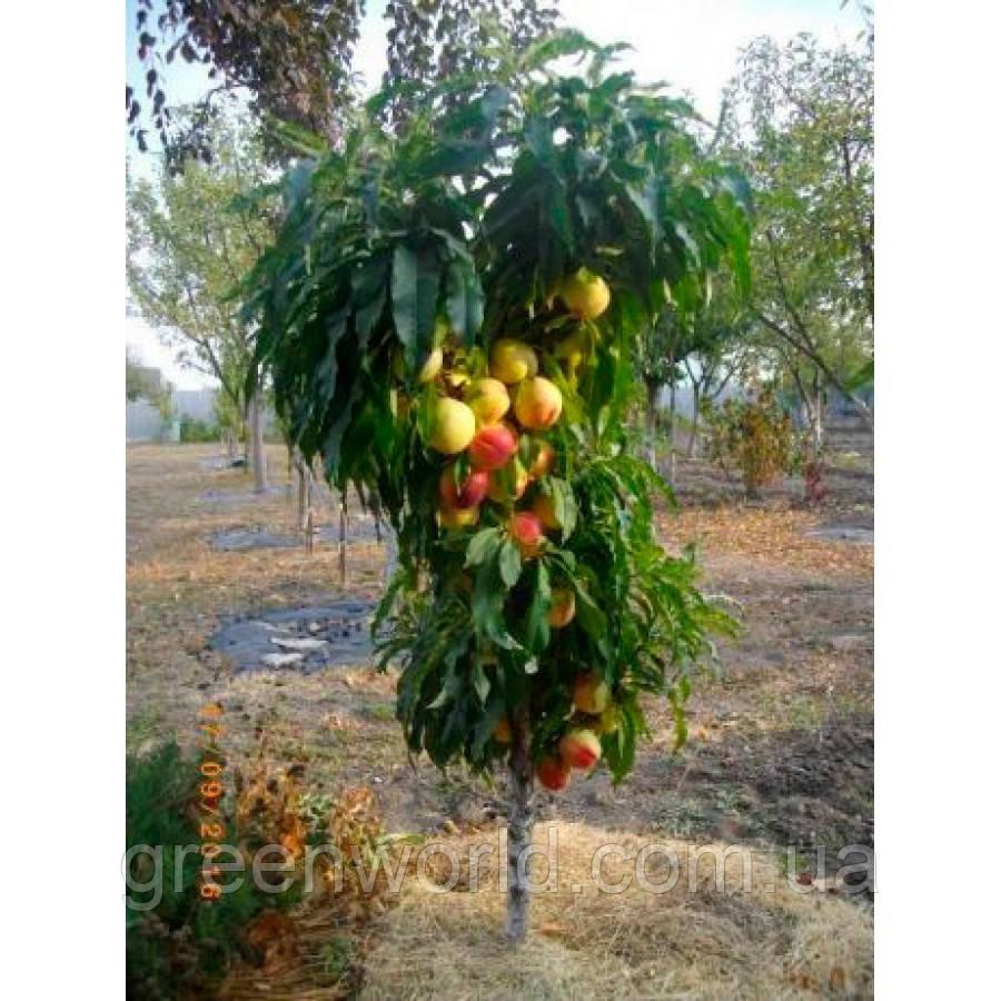 Саженцы колоновидного персика Сувенир (Souvenir)