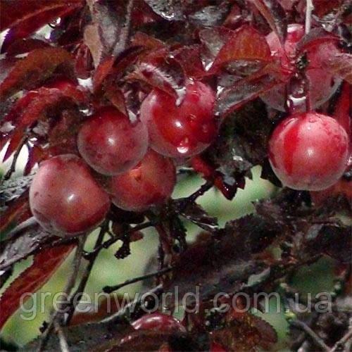 Саженцы краснолистного персика Харст (Harst)