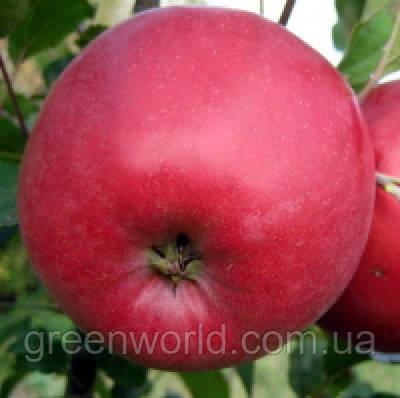Саженцы яблони Эдера