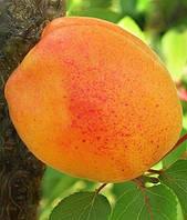 Саженцы канадского абрикоса Джумбо Тардив