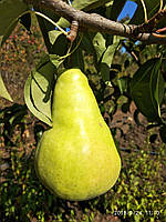 Саджанці груш Наталка (підщепа ІС-4-6 саджанцям 2 роки), фото 1