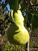 Саженцы груш Наталка (подвой ИС-4-6 саженцам 2 года), фото 1