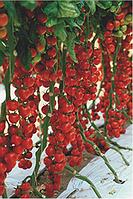 Томат черри Сакура F1 - Enza Zaden (Энза Заден), уп. 500 семян (индетерминантный)