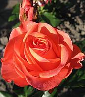 Роза Вау. (Wow) Чайно-гибридная роза., фото 1