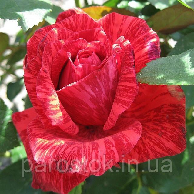 Роза Ред Интуишин. (ввв). Чайно-гибридная роза