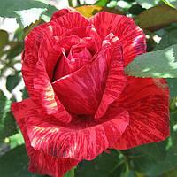 Роза Ред Интуишин. Чайно-гибридная роза.