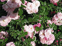 Роза Супер Дороти. (мс). Плетистая роза.