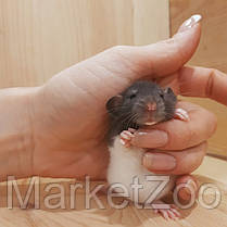 Крыски дамбо,мальчики,возраст 1мес., фото 2