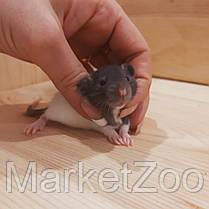 Крыски дамбо,девочка,возраст 1,5мес., фото 3