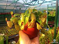 Непентес кустовой (Nepenthes Hookeriana) - хищное, насекомоядное, экзотическое, многолетнее, редкое растение