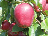 Яблоня Моди (приймем заказ на осень 2021)