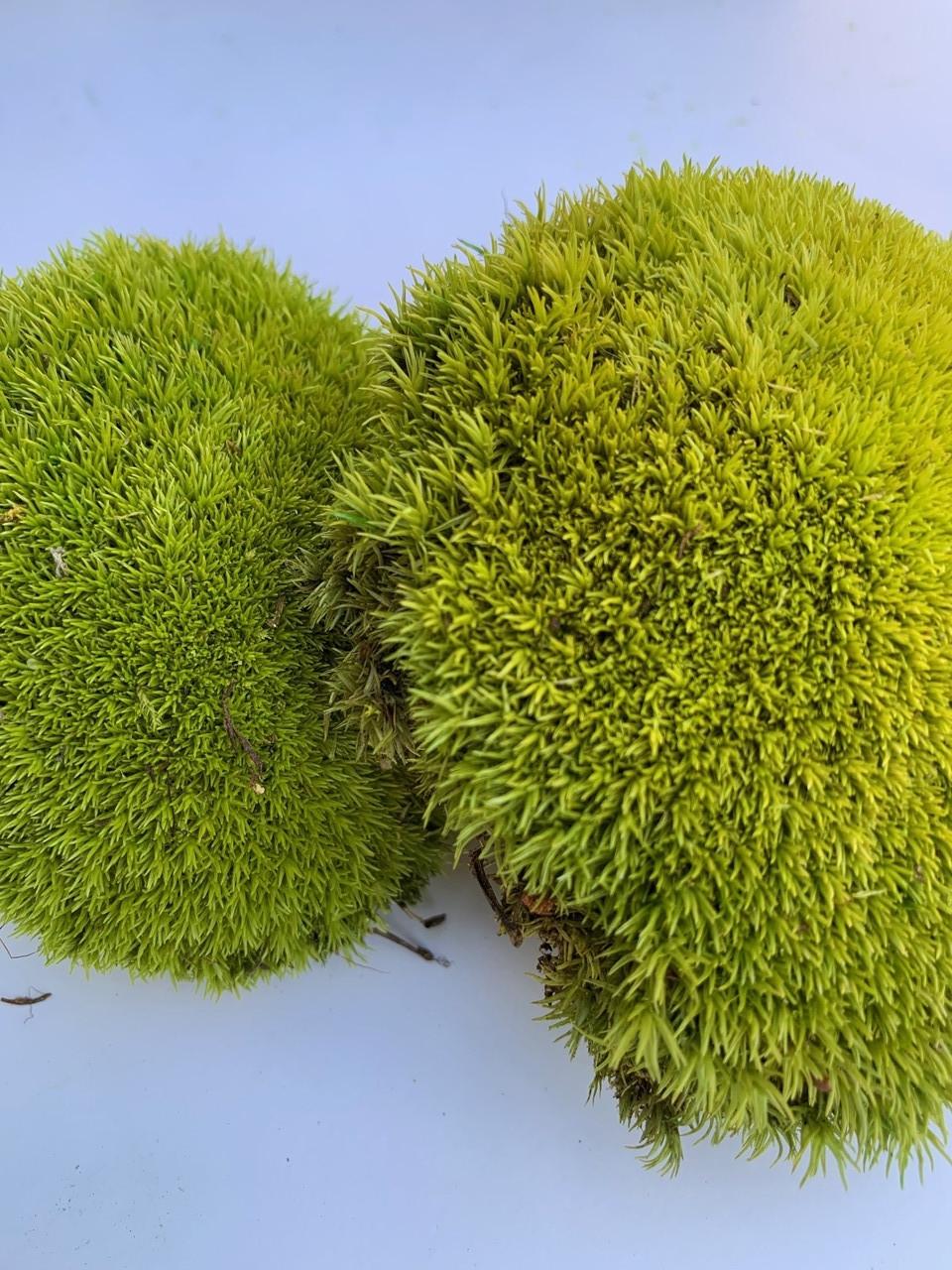 Стабилизированный мох кочки лайм