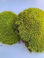 Стабилизированный мох кочки лайм, фото 1