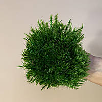 Стабилизированный  мох Прованс