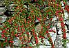 Кизильник горизонтальный / Cotoneaster horizontalis