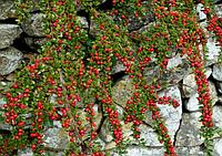 Кизильник горизонтальный / Cotoneaster horizontalis, фото 1