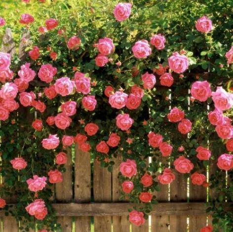 Саженцы плетистой розы  Розовая жемчужина