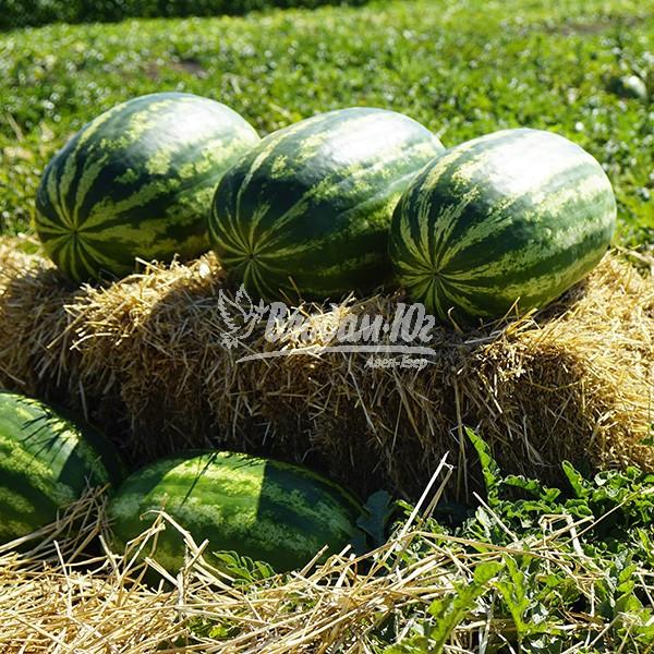 Семена арбуза Медисон F1 (1000 сем.) Clause
