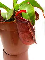 Растение хищник Непентес Кровавая Мэри AlienPlants Nepenthes Bloody Merry