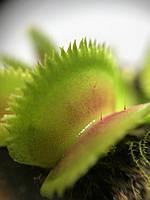 Растение Хищник Венерина мухоловка Дентата AlienPlants Dionaea muscipula Dentate размер S, фото 1