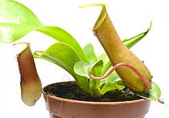 """Растение хищник Непентес Алата AlienPlants Nepenthes """"Alata"""""""