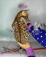 Мальчик бенгал, др. 05.02.2020. Бенгальские котята в Киеве из питомника Royal Cats.