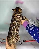 Девочка бенгал, родилась 13.02.20. Бенгальские котята в Киеве из питомника Royal Cats., фото 1