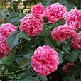 Саженцы плетистой розы  Розовая жемчужина, фото 2