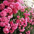 Саженцы плетистой розы  Розовая жемчужина, фото 3