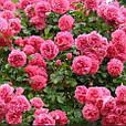 Саженцы плетистой розы  Розовая жемчужина, фото 4