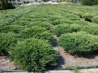 Можжевельник казацкий 'Tamariscifolia'. Контейнер 3 л