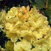 Рододендрон Goldinetta (С3, Н 30-40см), фото 1