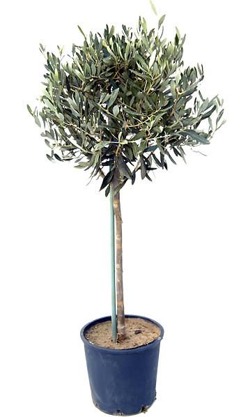 Оливковые деревья (Olea europaea)
