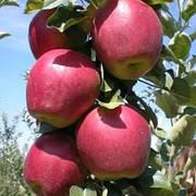 Яблуня Моді(скороплідний,солодкий,середньо рослий)