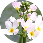Изображение Water Violet Bach Remedy