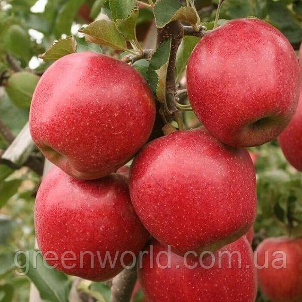 Саженцы колоновидной яблони Дискавери