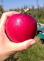 Саджанці яблунь Крімсон Крісп (Crimson Crisp, Кримсон Крисп), фото 1