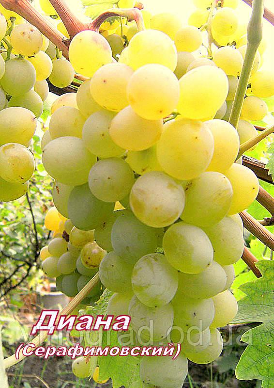 Діана (Серафимівський)