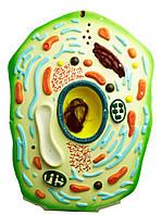 Модель Клітина рослини. Дидактична модель клітина рослинна. Модель клетка растения.