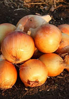 Семена лука Голден Мун F1 250 000 сем. Agri.