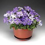 Петунія грандіфлора Браво F1 (колір на вибір)1000 шт., фото 3