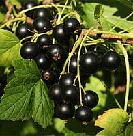 Саженцы черной смородины Титания