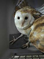 Ручная декоративная сова. + Содержание. Tyto alba.