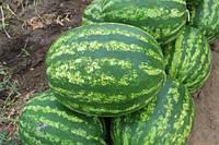 Семена арбуза Кримсон свит Ау-Продюсер. 0.5 кг. Италия УЛУЧШЕННЫЙ!