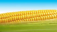 Посевной материал гибридов кукурузы «ЕВРАЛИС СЕМЕНС» (EURALIS SEMENS)